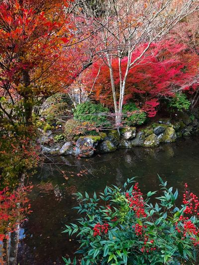 Creek Japanese Garden Red Fruits Autumn Colors Autumn Beauty In Nature Nature Tree Tranquil Scene Tranquility Leaf Outdoors No People Stream - Flowing Water Scenics Water Red Change Rock - Object River Forest Plant Travel Destinations Park - Man Made Space