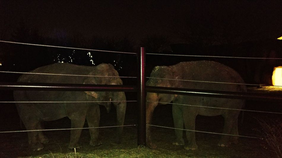 Elephant x Elephant Animals African Africananimals Africanbeauty Beautyinnature  Elephant #ColumbusZoo Night Competition No People Sport Space Match - Sport Outdoors Black Background Close-up
