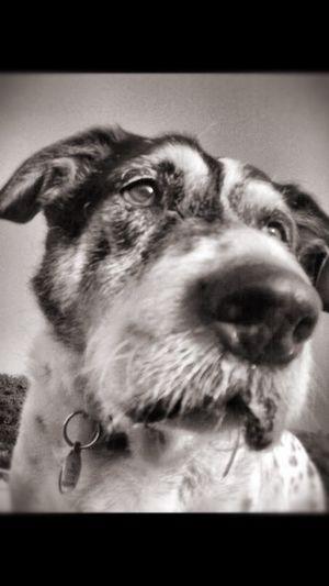 Best Dog My Dog Canine Companion Black And White Photography Dog Dog Love Old Boy Old Dog Life Dogs Life Missed Aging Beauty EyeEm Best Shots EyeEm Animal Lover Fine Art Photography Monochrome Photography