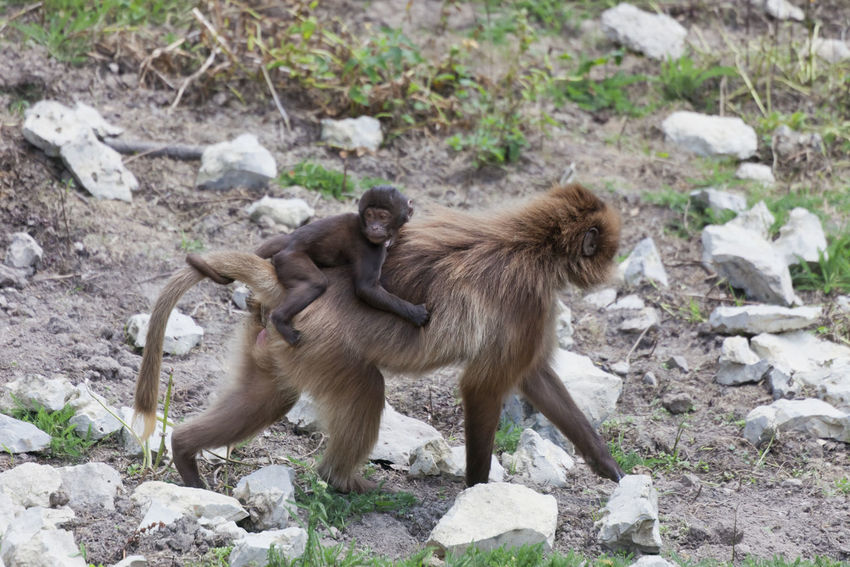 Gelada Baboon carrying baby on back - Theropithecus gelada Africa Ape Baboon Baby Bonding Care Carrying Endangered Species Full Length Gelada Baboon Monkey Mother Motherhood No People Outdoors Piggyback Portrait Primate Ride Side View Theropithecus Gelada Togetherness Two Animals Walking Young Animal
