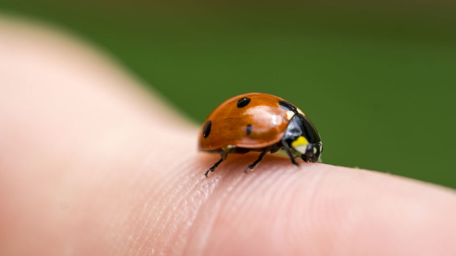 The human element Close-up Finger Fingers Insect Ladybug Macro Macro Beauty Macro Insects Macro Nature Macro Photography Macro_collection Nature Selective Focus Maximum Closeness