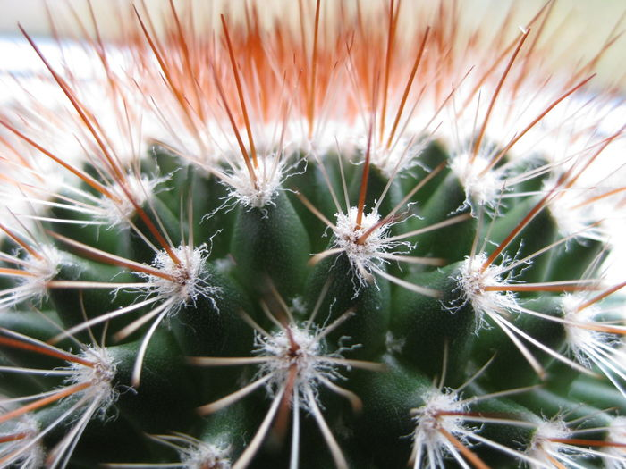 Botany Cactus Close-up Detail Focus On Foreground Growth Nature Plant Sharp Simplicity Spiked