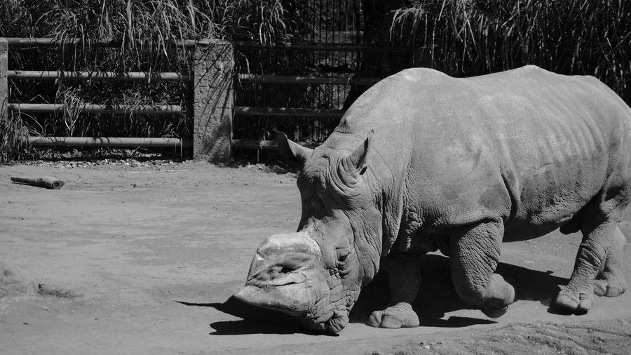Rhinoceros at zoo