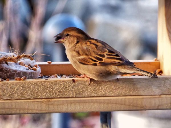 Sperling Spatz Sparrow Sparrows Bird Bird Photography Birds_collection Birds Of EyeEm  Nature Animals View From The Window... Taking Photos Beauty In Ordinary Things Nature On Your Doorstep Showcase March