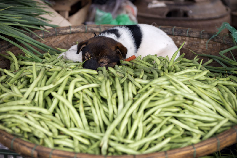 Puppy Nap ASIA Be. Ready. Dog Sleeping  Dogs Of EyeEm EyeEm Best Shots Green Beans Market Snoozing Snoozing Dog Animal Themes Bamboo Basket Cute Dog Domestic Animals Market Stall Mutt No People Pets Puppy Sleepping Taking A Nap Food Stories An Eye For Travel