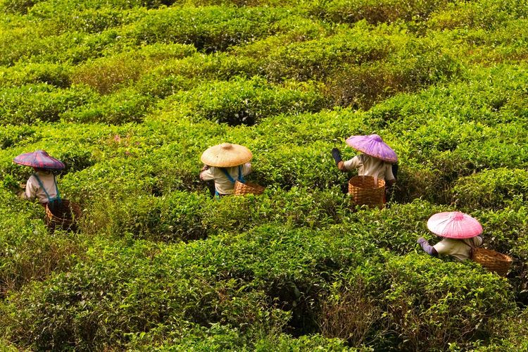 EyeEmBestPics EyeEm Best Edits EyeEm Best Shots Eyeem Market Traveling Travel Travel Photography Picking Tea Tea INDONESIA Colorful Hat People Plucking Tea Leaves Tea Farmers Tea Pluckers Tea Plantation