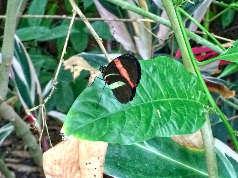 Animal Animal Antenna Animal Markings Animal Themes Beauty In Nature Black Butterfly Butterfly Butterfly - Insect Close-up Day Focus On Foreground Green Color Insect Leaf Nature Outdoors Wildlife