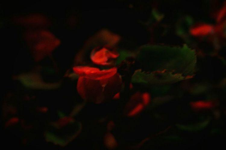 Rose of eternal flame First Eyeem Photo