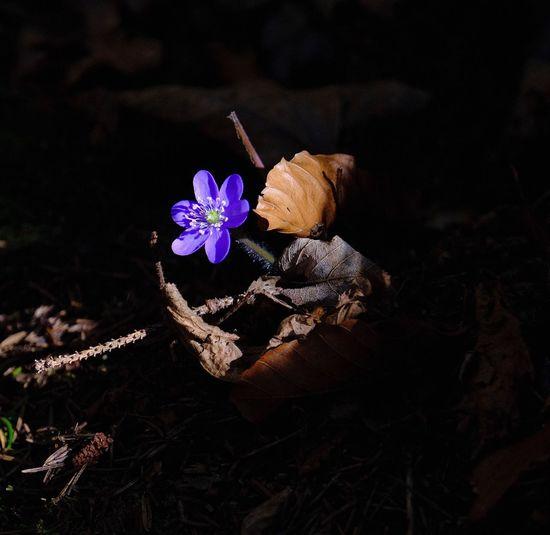 Hepatica Flower Flowering Plant Fragility Plant Vulnerability  Petal Freshness Beauty In Nature Close-up Flower Head Botany