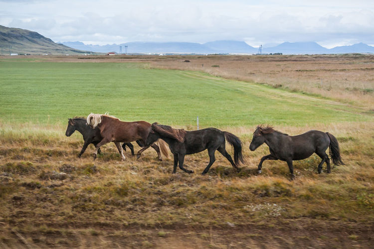 Gallop Horses Iceland Run Animal Themes Animals In The Wild Beauty In Nature Field Grass Horse Landscape Mammal Motion Nature No People Scenics EyeEmNewHere