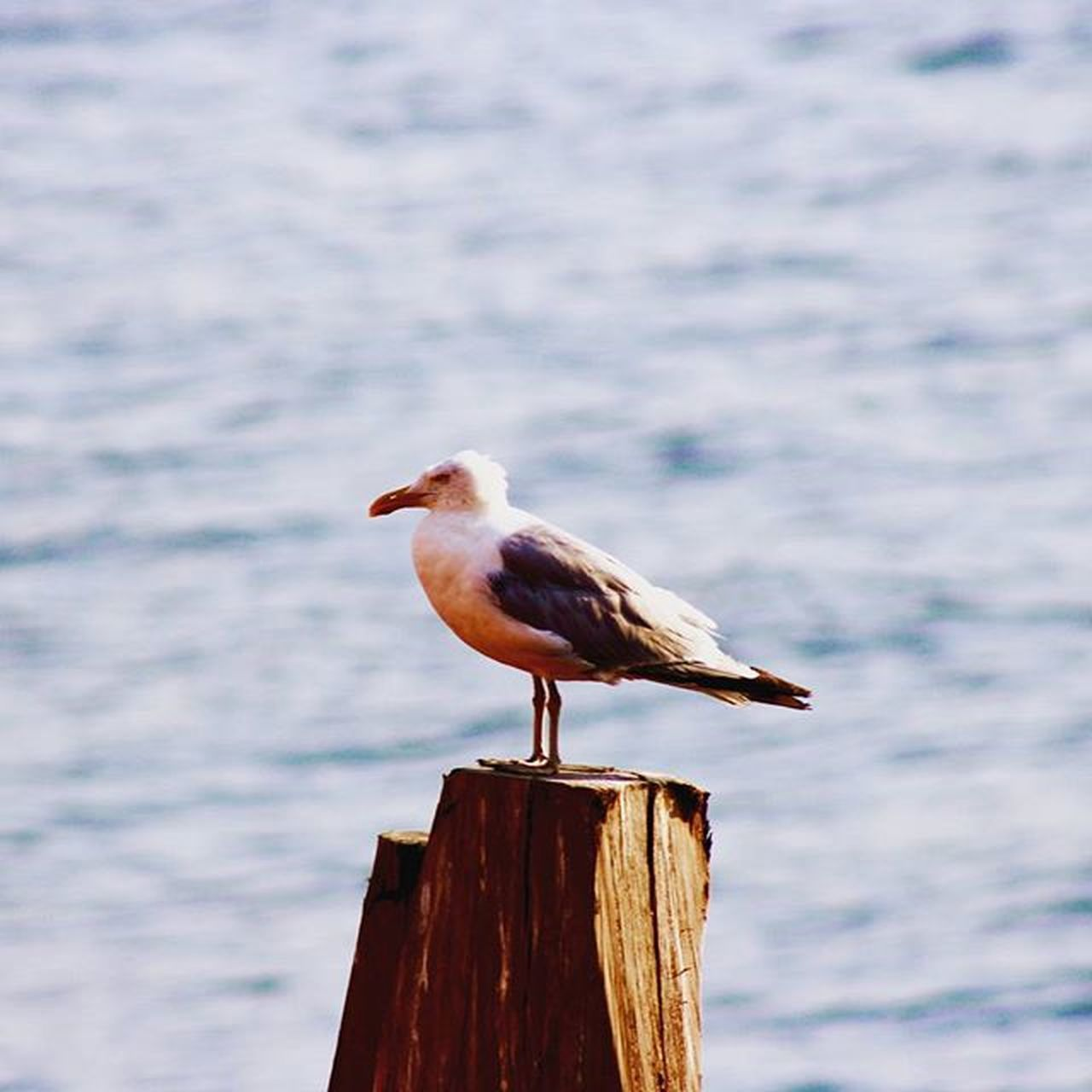 bird, animal, animal themes, animal wildlife, vertebrate, animals in the wild, perching, wood - material, one animal, water, post, no people, seagull, nature, wooden post, focus on foreground, day, side view, full length, outdoors, profile view