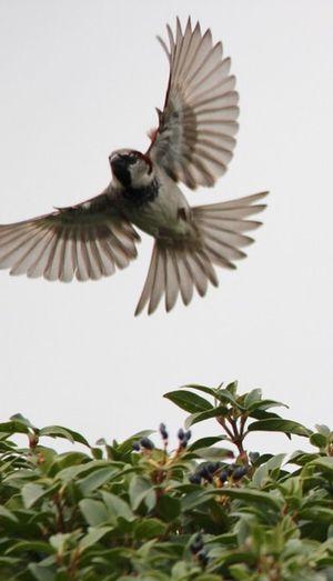Sparrow Bird Spread Wings Flying Animal Animal Themes Vertebrate Animal Wildlife