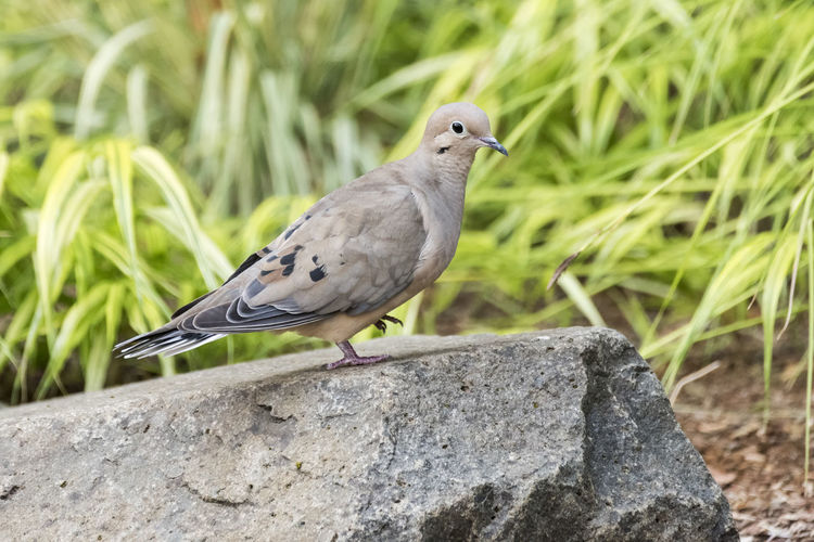 Dove Animal Animal Themes Animal Wildlife Animals In The Wild Bird Close-up Day Dove - Bird Focus On Foreground Grass Mourning Dove Nature No People One Animal Outdoors Perching Plant Rock Rock - Object Solid Vertebrate