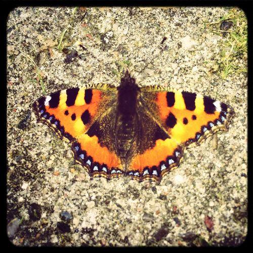 Butterfly Butterflies Schmetterling Nature