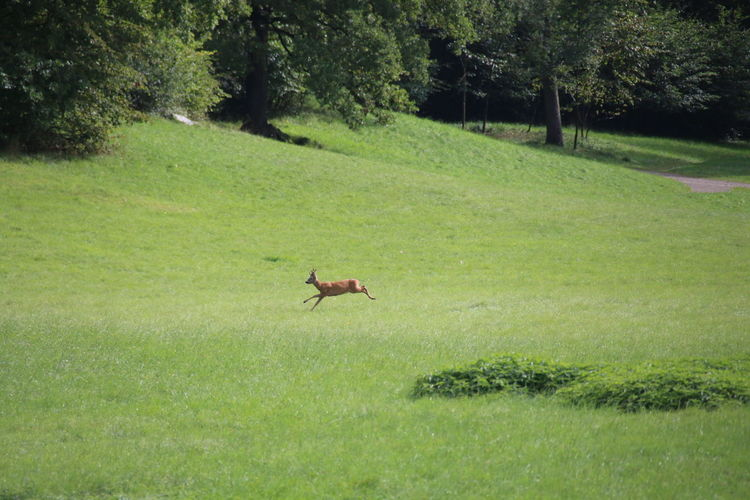 Young Deer Deer Jumping Deer Flying Deer Animals In The Wild Animal Wildlife One Animal Animal Themes Green Color Grass Nature Beauty In Nature Day No People Pet Portraits