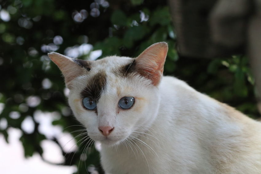 Portrait an adorable beautiful blue eyes of white cat lying on the ground Lying 4 Legs 9 Life Beautiful Big Eyes Blue Eyes Relaxing Adorable Cat  Animal Beauty Clean Cat Close Up Cute Focus Fur Ground Lazy Cat Long Mustache Looking Macro Outdoors Pets Portrait Three Color Cat White Cat