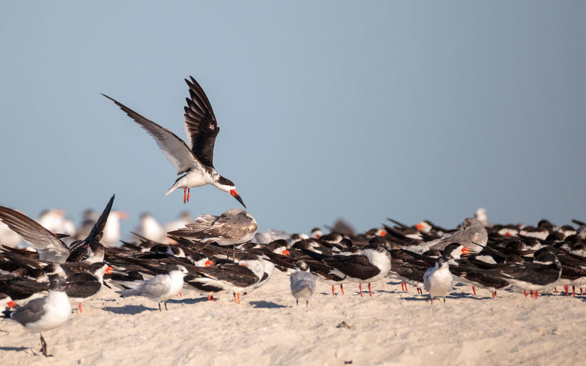 Flock of black skimmer terns Rynchops niger on the beach at Clam Pass in Naples, Florida Beak Clam Pass Coastline Flock Of Birds Fly Gulls Nature Ocean View Rynchops Niger Terns Beach Bird Birds Black Skimmer Terns Coast Coastal Florida Flying Nature_collection Ocean Red Beak Skimmer Tern Wildbird Wildlife Wings