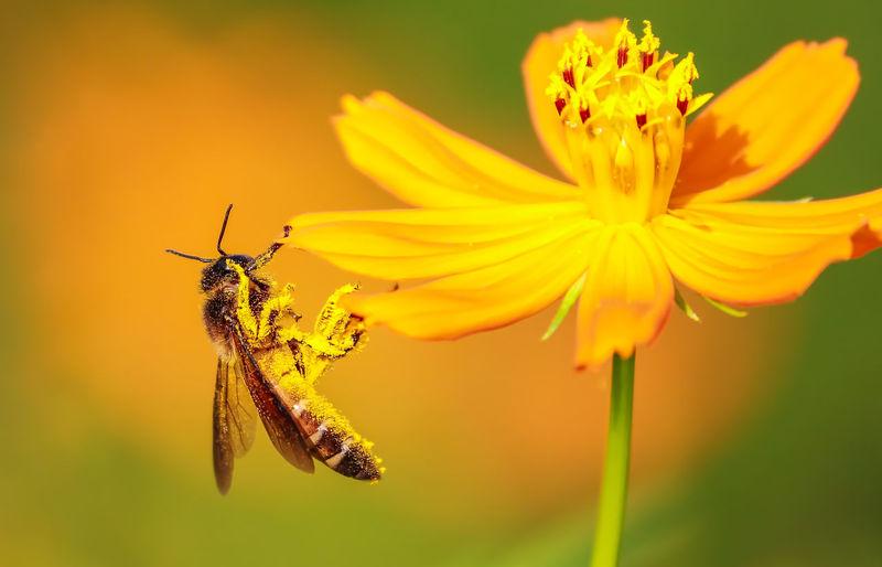 honey bee macro