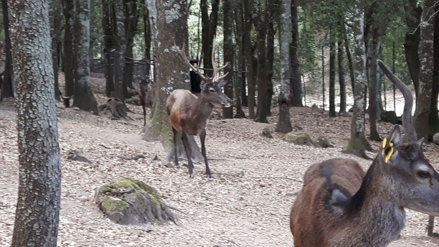 Typical Sardinian deers in Monte Cresia, Italy Deers Horns Sardinian Deer Sardinian Deers Forest Wood Monte Cresia Burcei Sinnai Sette Fratelli Sette Fratelli Park Naturali Park Sardinia Italy Tree Forest Tree Trunk Grazing Livestock Herbivorous Horned Antler