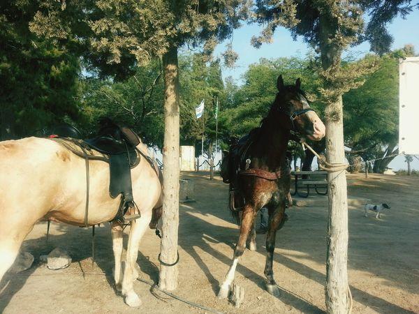 Ashkelon Horses Neture Traveling