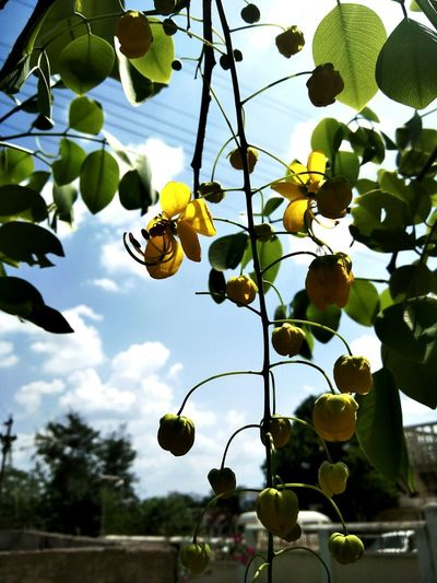 Low angle view of fruits hanging on tree against sky