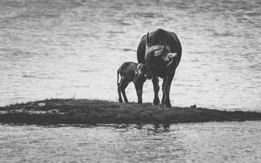 Water Buffalo With Calf Amidst Lake