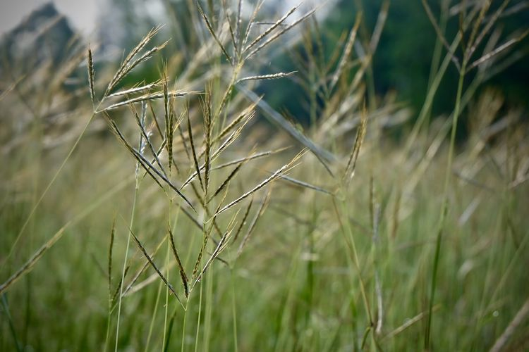 Plant Growth Land Field Close-up Focus On Foreground Nature Tranquility Beauty In Nature Day No People Green Color Agriculture Selective Focus Grass Crop  Farm Cereal Plant Wheat Outdoors Timothy Grass Blade Of Grass Stalk