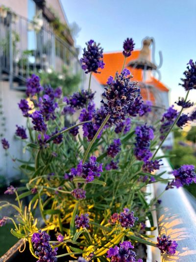 Apartment Lavendel Gardening In The City Urbangardening Urbanphotography Flowering Plant Flower Plant Vulnerability  Freshness Fragility Purple Nature Beauty In Nature Flower Head Architecture No People Focus On Foreground