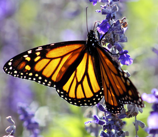 Close up image of a Monarch Butterfly on a Purple Lavender flower in Summer. Growth Orange Animal Wildlife Animals In The Wild Beauty In Nature Butterfly Close-up Day Flower Flower Head Fragility Freshness Garden Growth Insect Lavender Nature No People One Animal Outdoors Petal Plant Pollination Purple