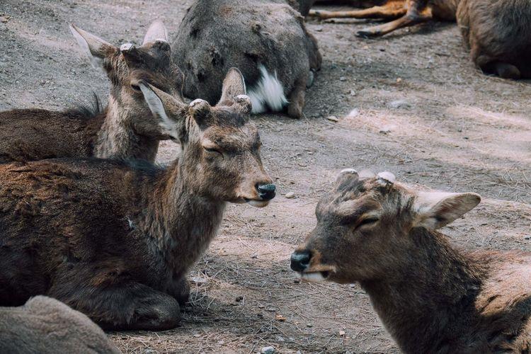 Nara Nara,Japan Deer Deer Moments Deer Sighting Deers Deerpark Park Animal Animals Sitting Sleeping Sleepy