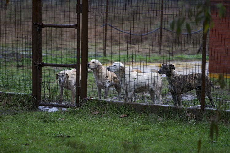 Dogs Look out Gate Cage Dogs Domestic Farm Labrador Looking Mud Pack Pen Rain Rural Security Waiting Wire