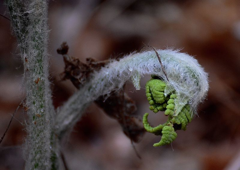 Spring Bounty 6. Fiddlehead ferns shed their fuzz as the begin to unfurl, eventually becoming just one of thousands of fronds covering the deep-woods forest floor in the Belding Wildlife Management Area in Vernon, Connecticut. Fiddleheads Fern Plants Spring Connecticut New England  The Great Outdoors - 2016 EyeEm Awards Beautiful Nature Nature Photography Nature_collection Nature A Walk In The Woods Ferns Fiddleheads