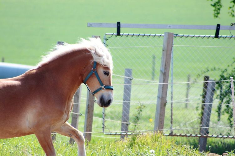 Haflinger Horse Animal Themes Summer Pets Paddock Standing Field Rural Scene Horse Protection Grass Livestock