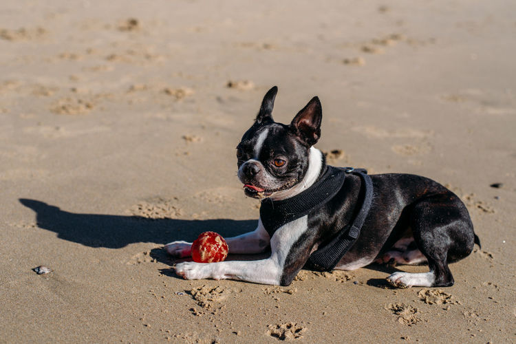 Animal Animal Themes Beach Black Color Canine Dog Domestic Domestic Animals Focus On Foreground Land Lap Dog Mammal Nature No People One Animal Pets Sand Small Sunlight Vertebrate