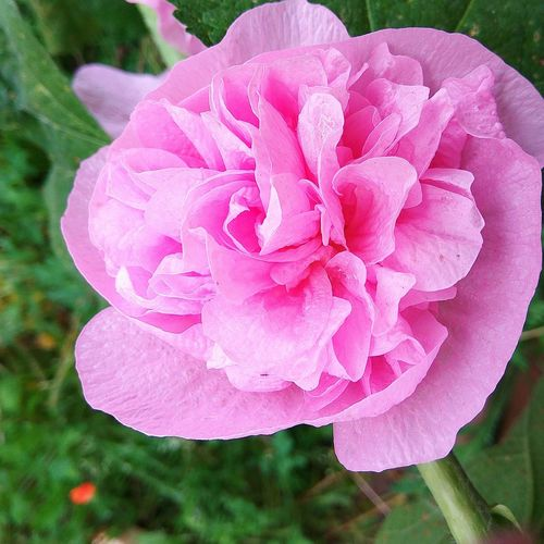Flower Petal Pink Color Nature Beauty In Nature No People Day Outdoors Wild Rose Plant Growth Fragility Flower Head Blooming Freshness Close-up Springtime Decadence