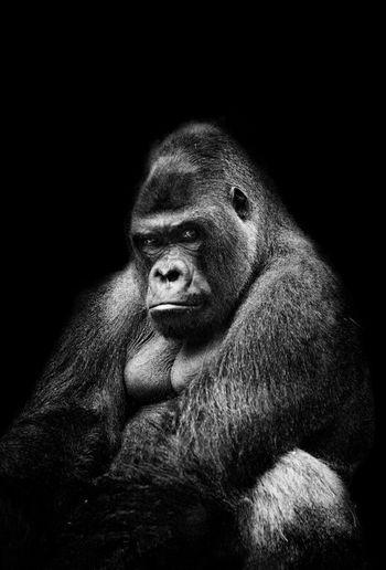 Silverbackgorilla Gorilla Strength Noble