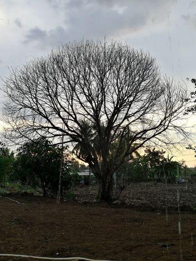 Tree Bare Tree