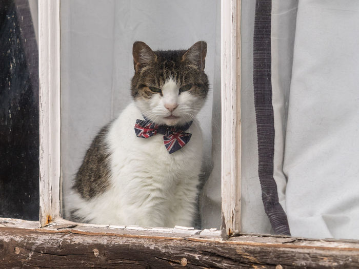 Close lup of dapper cat with a union jack bow tie sitting in a medieval cottage window. england, uk.