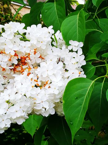 Leaf Nature Plant Flower Insect No People Growth Outdoors Day Freshness Fragility Close-up Beauty In Nature Flower Head Lilac White Flower White Lilac