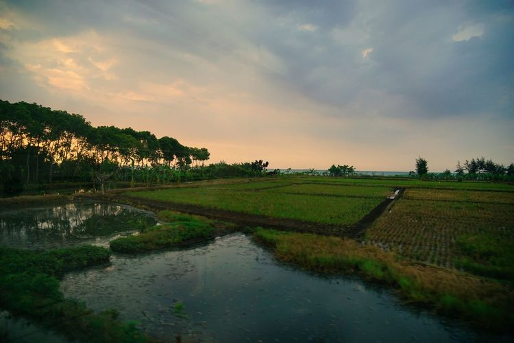 Sunset in Rembang Photography By @jgawibowo Arif Wibowo Photoworks Shot By @jgawibowo Shot By Arif Wibowo Travel Photography Indonesia Scenic Twilight Scenic View Scenic Agriculture Field Landscape Water Crop  Sunset Tree Beauty In Nature Reflection Rural Scene Rice Paddy Tranquil Scene Tranquility Outdoors Beauty Scenics