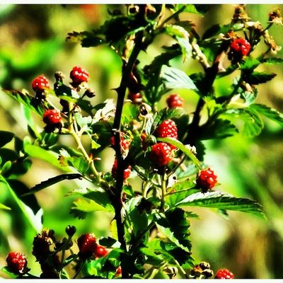 BLACKBERRIES BLOOMING Insta_exploring Instatennessee USA Tennessee Lebanon Home_sweet_home Spring Nature Greenery Blooms Blackberries Yum