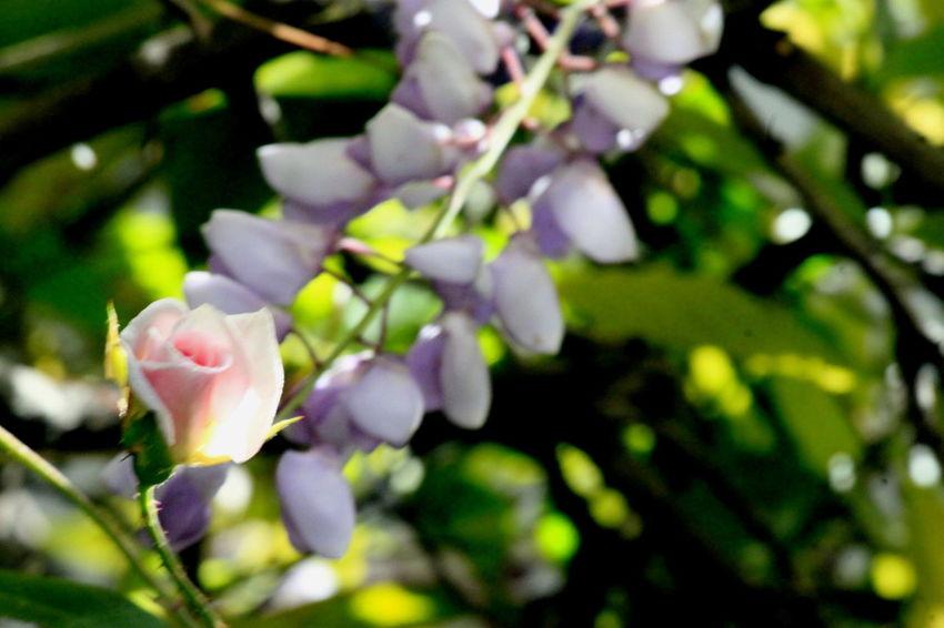 """A rose that grose in Spanish harlum"" Roses Flower Rose Vine Nature Beauty"