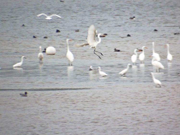 Bird Animals In The Wild Animal Themes Animal Wildlife Flock Of Birds Large Group Of Animals Water Nature Nature On Your Doorstep Spread Wings Chewvalleylake Great Egrets Long Distance Shot