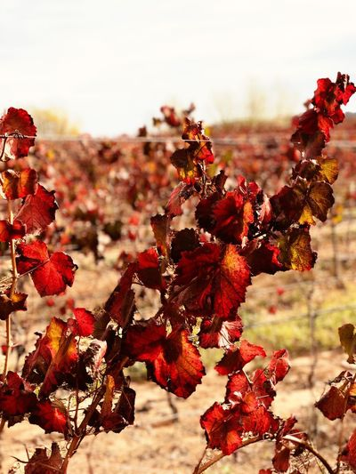 Vinho Quinta Montemor-o-novo Videira Portugal Weinrebe Wine Nature Autumn Flower Focus On Foreground Plant Leaf Growth Beauty In Nature Red