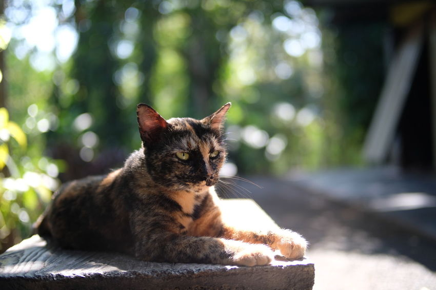 Thai Cat Animal Themes Close-up Day Domestic Animals Domestic Cat Feline Focus On Foreground Local Cat Mammal Nature No People One Animal Outdoors Pets Relaxation Retaining Wall Sitting Sunlight Whisker