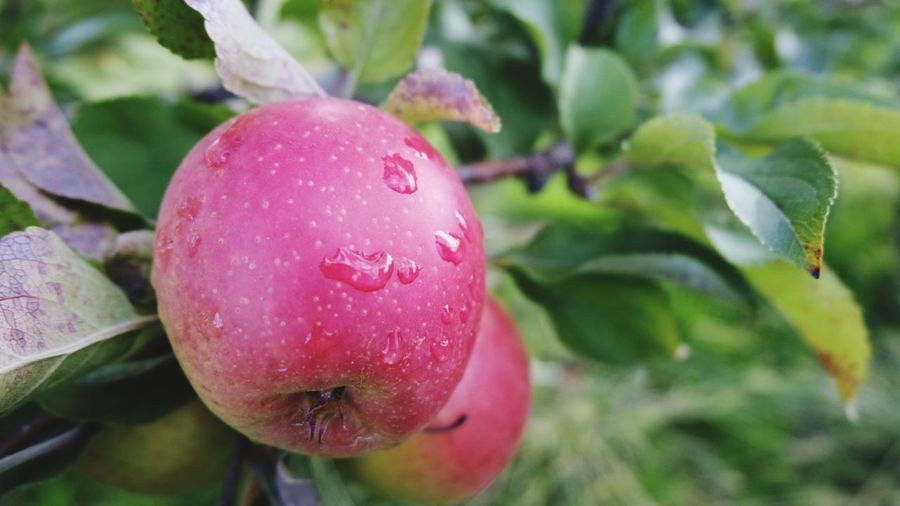 Tree Fruit Leaf Red Agriculture Close-up Plant Food And Drink Apple Tree Orchard Apple - Fruit