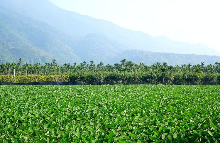 A large taro field with palm trees and mountains in southern Taiwan Agriculture Field Green Color Landscape Mountain Range Palm Trees Rural Scene Scenics Taro Plant Taro Root Tranquil Scene