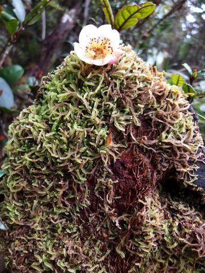 High Altitude Plant along Mesilau Trail Kinabalu Park