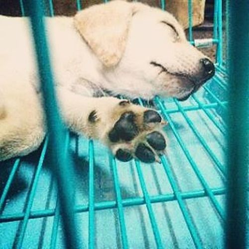 Newmember Doggy Labrador Just3months Sleepyhead Cutepuppy Adorable