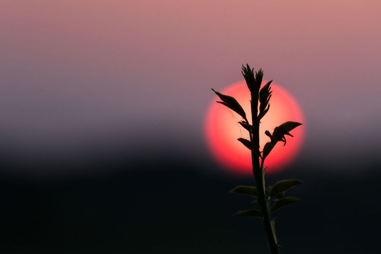 Close-up of plant silhouette against red setting sun Red Sunlight Beauty In Nature Close-up Copy Space Focus On Foreground Fragility Growth Idyllic Leaf Light - Natural Phenomenon Nature No People Orange Color Outdoors Plant Plant Part Purple Selective Focus Silhouette Simplicity Sky Sun Sunset Tranquility